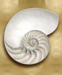 Guscio di nautilo bianco su sfondo dorato