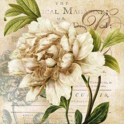 Illustrazione vintage peonia