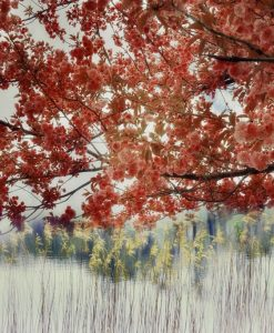 Ciliegio in fiore sul lago