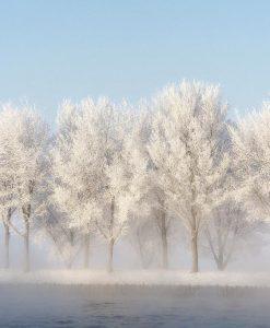 Fila di alberi coperti di neve