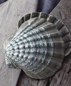 Fotografia di conchiglie marine appoggiate su legno