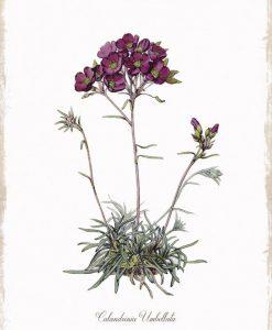 Disegno in stile botanico di una calandrinia