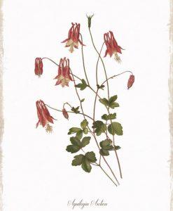 Disegno in stile botanico di un mazzo di aquilegie
