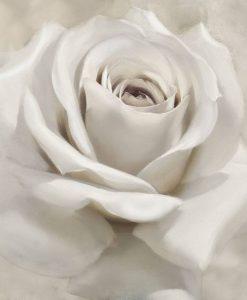 Dettagli di petali di una rosa bianca