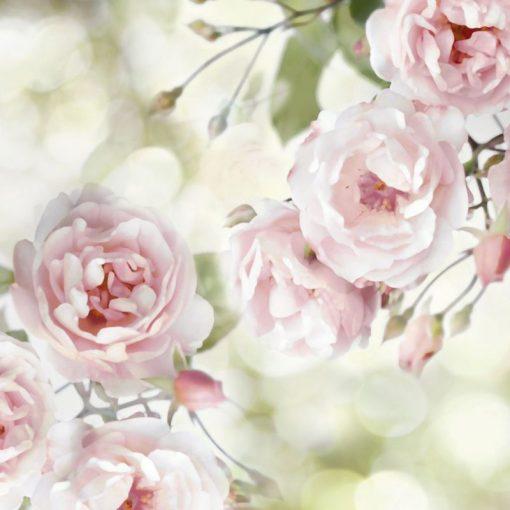 Cespuglio di rose color rosa