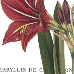 Illustrazione botanica di un amarillide