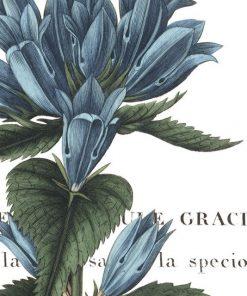 Illustrazione botanica di una campanula