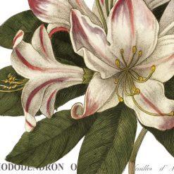 Illustrazione botanica di un rododendro