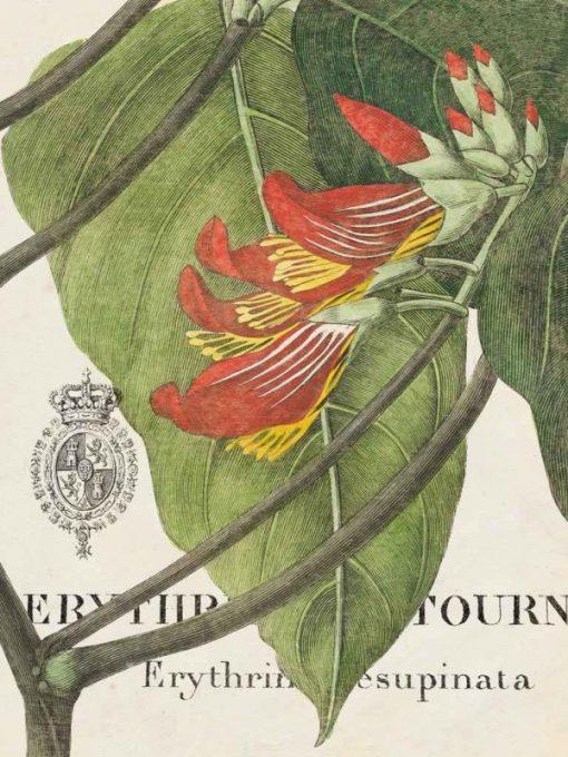 Illustrazione botanica di una erythrina