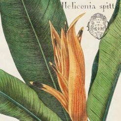Illustrazione botanica di una heliconia