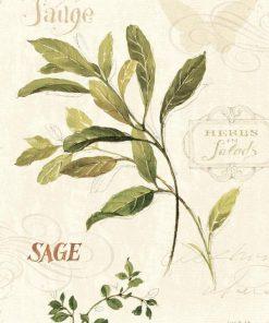 Illustrazione di erba aromatica: salvia