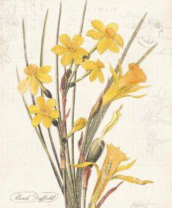 Illustrazione vintage narciso