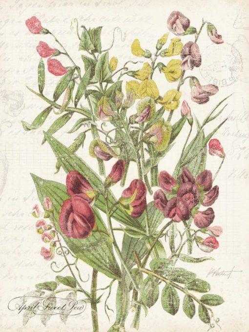Illustrazione vintage pisello odoroso