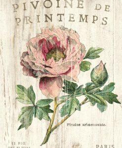 Illustrazione vintage di una peonia