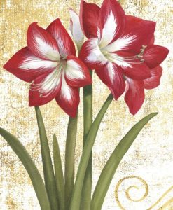 Amarillide fiorita di color rosso e bianco