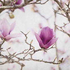 Rami di magnolia fiorita