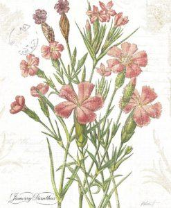 Illustrazione botanica di garofani