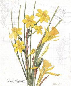 Illustrazione botanica di narcisi