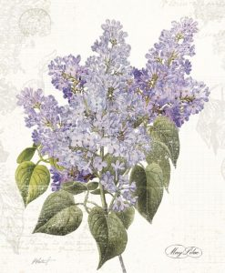 Illustrazione botanica di un lillà