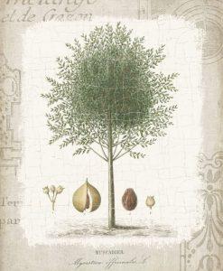 Illustrazione botanica di una pianta