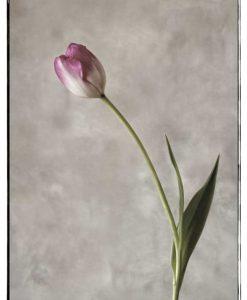 Foto di un tulipano rosa e bianco