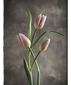 Foto di un tulipani rosa e bianchi