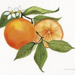 Illustrazione di due arance mature