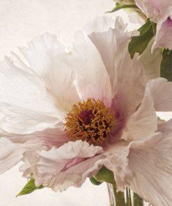 Dettaglio di una peonia dai petali bianchi